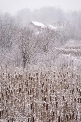 Cattails-in-Snow