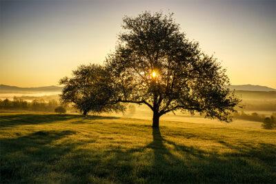 Apple-Trees-at-Sunrise