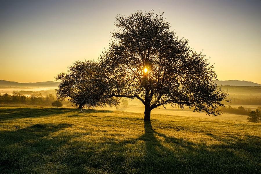 Sunrise Apple Tree Apple-trees-at-sunrise